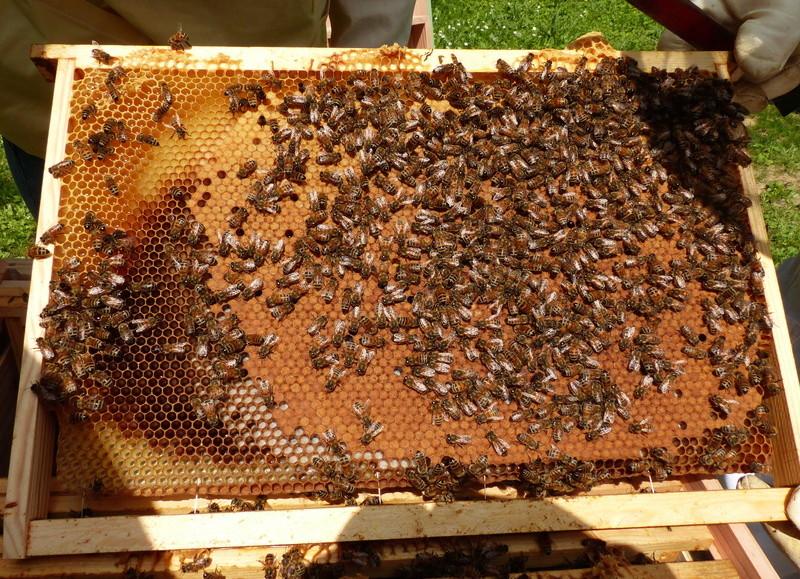 VISITE 1 et VISITE 2 de la ruche samedi 5 et 12 mai 2018 à 14h P1060314