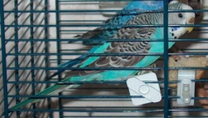 mutazioni cocorite Azzurr10