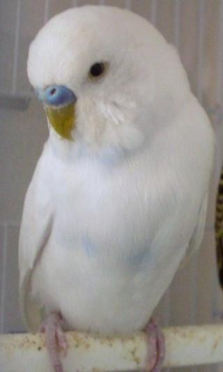 il mio ondulato albino con occhi neri M_df_s10