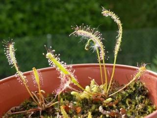 Liste des droseras rustiques (naturels) Dlinea10