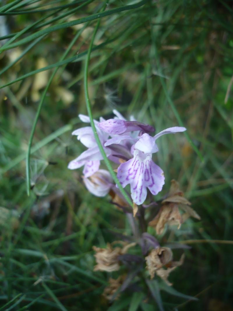 Quelques orchidées de corse P1070610