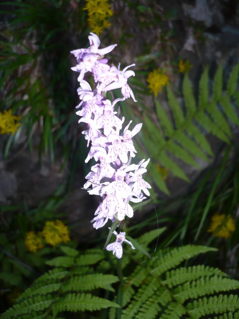 Quelques orchidées de corse P1070710