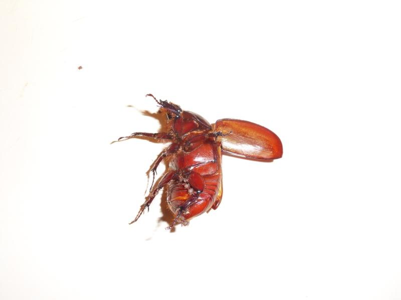 Un acarien qui parasite un Coléoptère!!!! Sdc11724