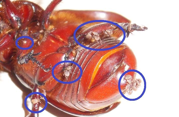 Un acarien qui parasite un Coléoptère!!!! Sdc11725