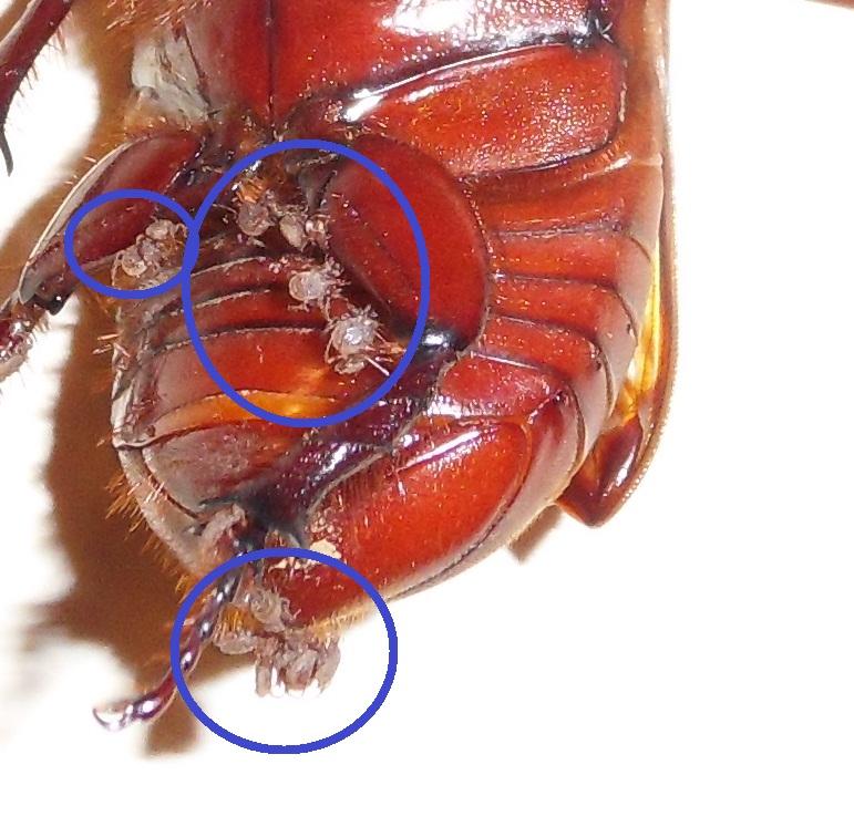 Un acarien qui parasite un Coléoptère!!!! Sdc11726