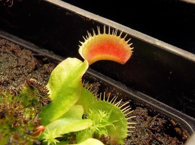 Dionaea Muscipula 'Red green' Sdc13137