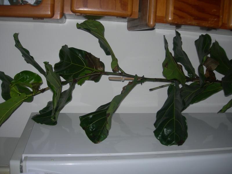 pouvez vous identifiez ses deux plantes vertes Photos12
