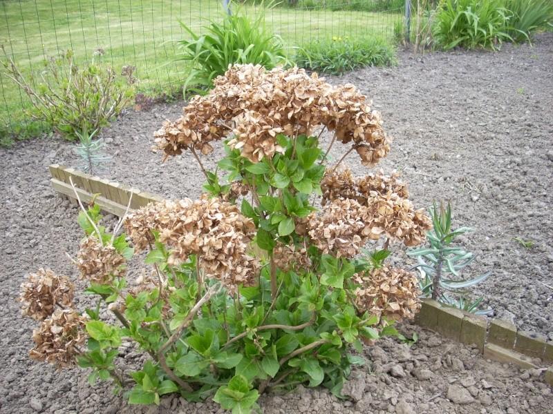 Hydrangea   Hortensia des jardins 10_00110