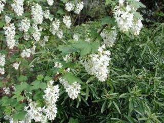 Groseiller a fleurs (Ribes sanguineum) Aaaaaa10