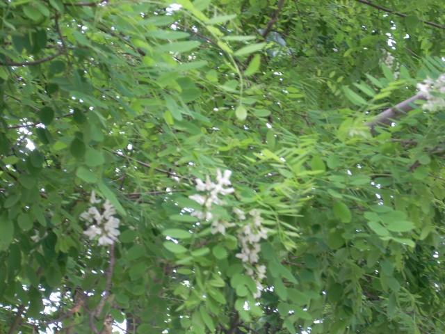 Robinier le faux acacia Chatai10