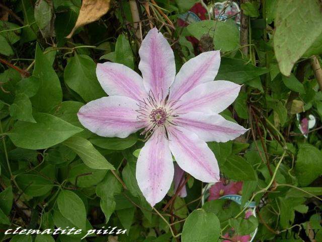 plantation d'une clématite Chatai30