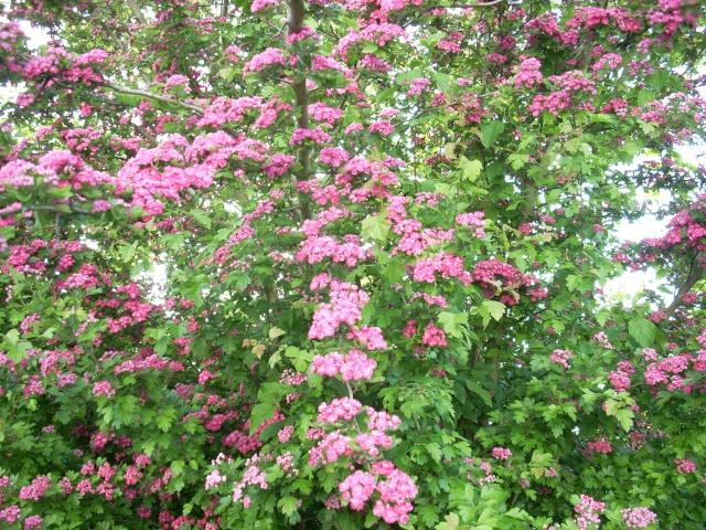 Le printemps a commencé!!!!!!!!!!!! - Page 6 Fleur_55