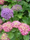 Hydrangea   Hortensia des jardins Images11