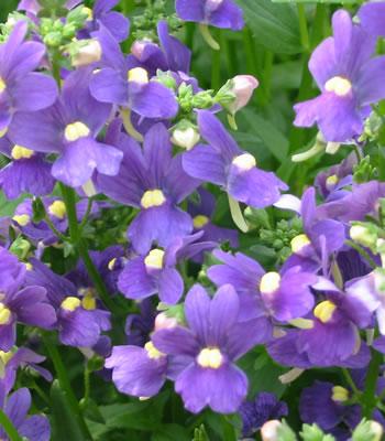 qui connaît cette fleur la Nemesia Nemesi10