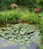 Plantes aquatiques et bassins Plante11
