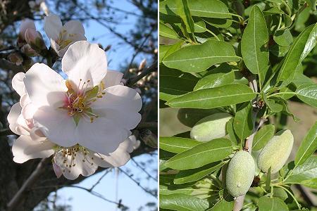 l'amandier PRUNUS dULCIS Prunus11