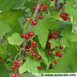 Groseiller a fleurs (Ribes sanguineum) Ribes-10