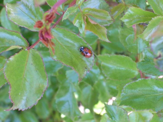 Les petites bestioles de nos jardins! Rose_111