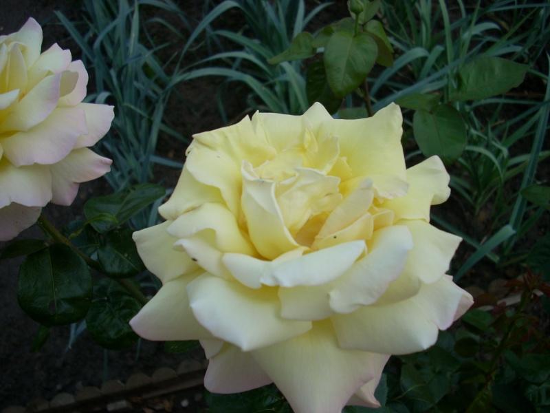 Vos rosiers preferés Rose_b11