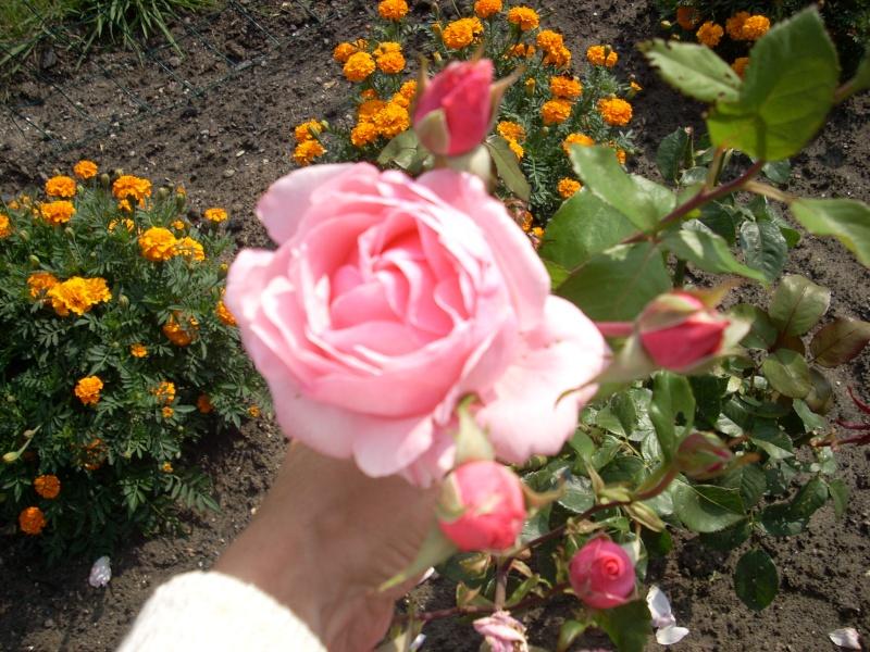 Vos rosiers preferés Rose_b12