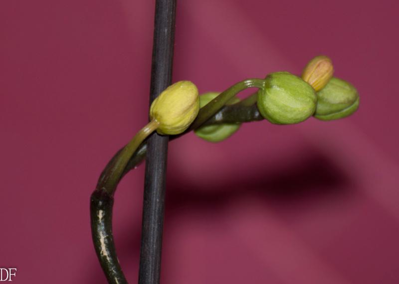 Phalaenopsis stuartiana Dsc_1210