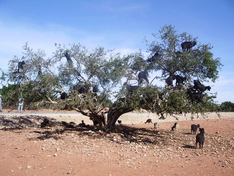 [Poésies, contes, légendes...] Malheurs et bonheurs d'un arganier Maroc-10