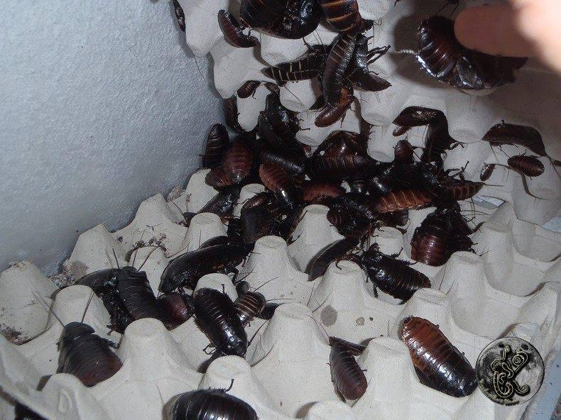 balttes géantes (souffleuses d madagascar ) VENDUES 29597510