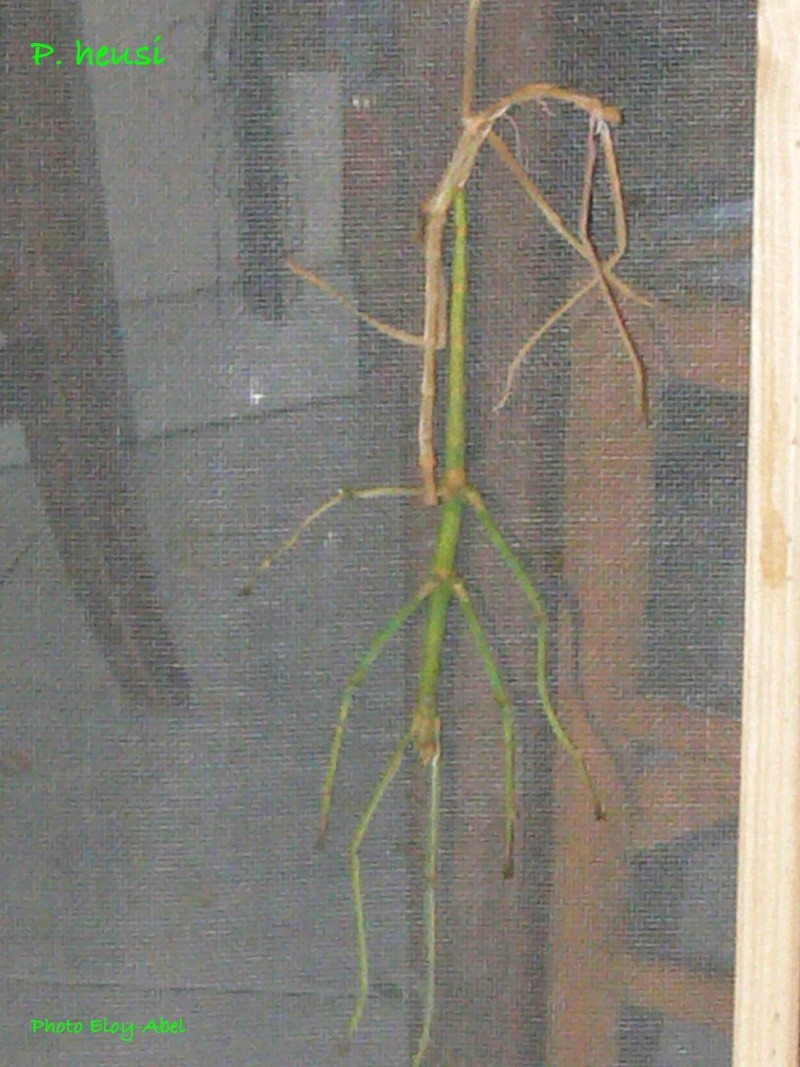 Phryganistria heussii (P.S.G n°277) (Phobaeticus)  P_heus10
