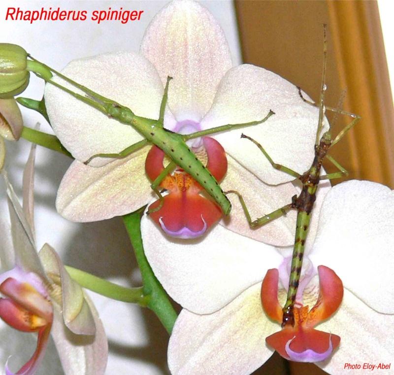Rhaphiderus spiniger Rhaphi14