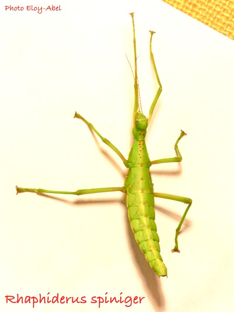 Rhaphiderus spiniger Rhaphi26