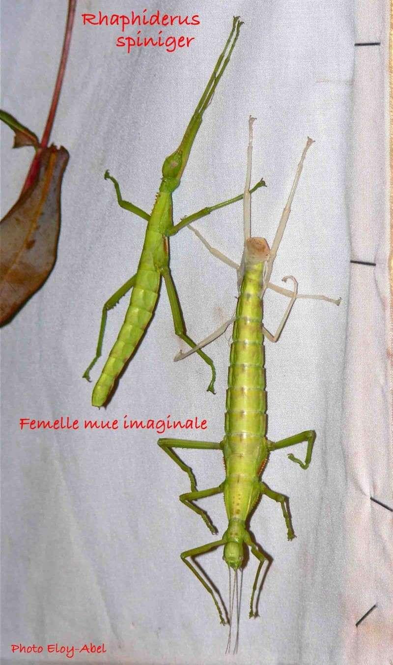 Rhaphiderus spiniger Rhaphi27