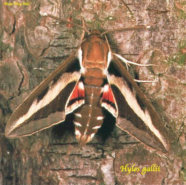 Hyles gallii Sphynx10