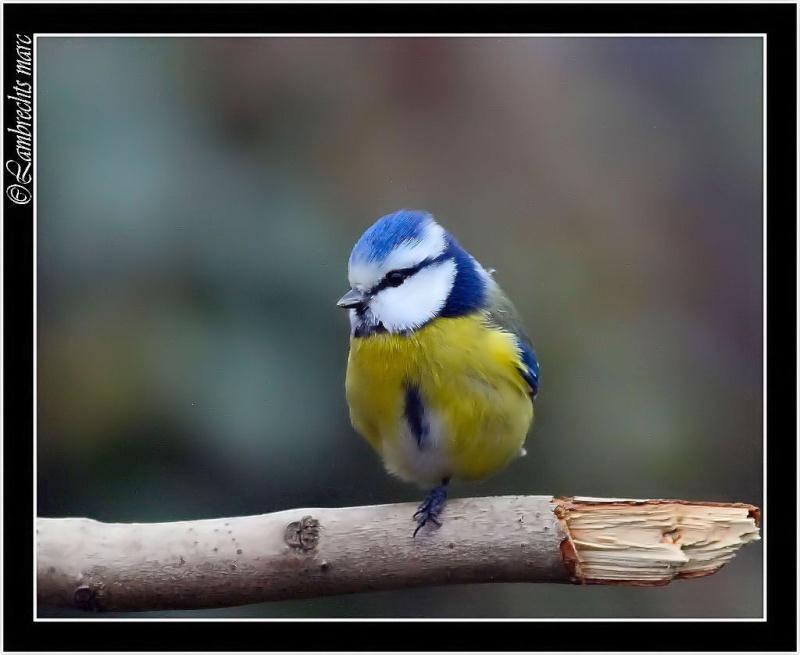 Oiseaux d'hiver 2010-2011 : Vadrouille Belux_10