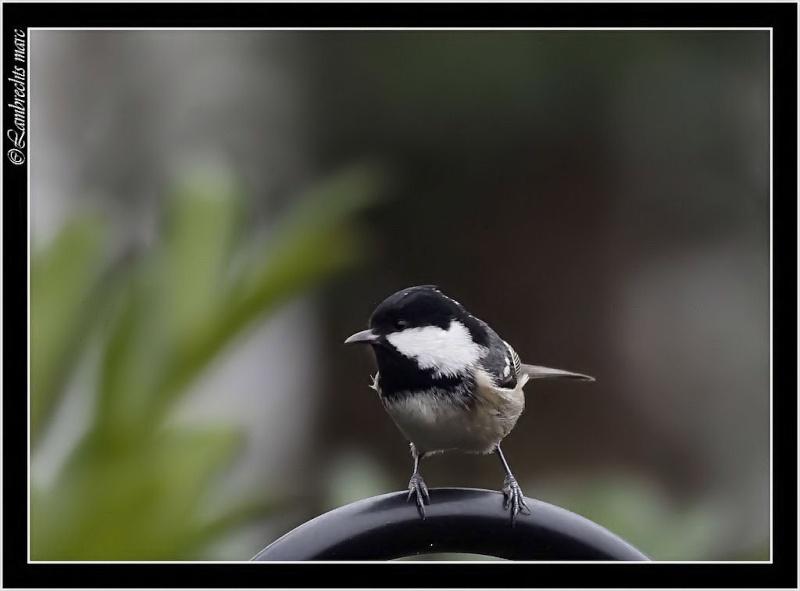 Oiseaux d'hiver 2010-2011 : Vadrouille Belux_11