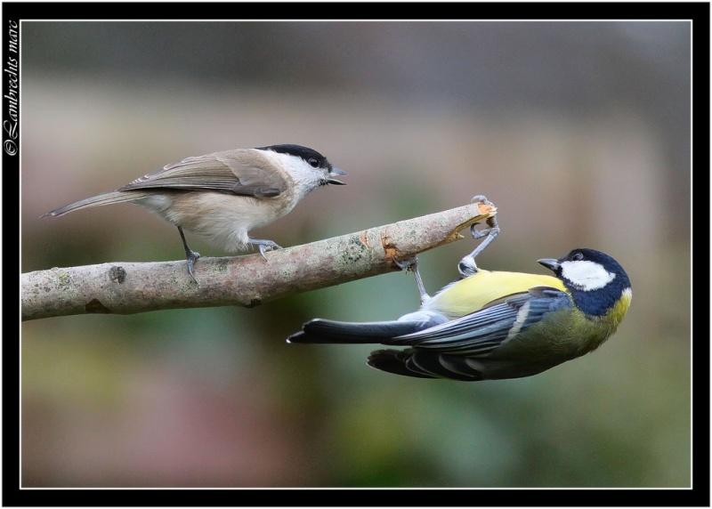 Oiseaux d'hiver 2010-2011 : Vadrouille Nonett10