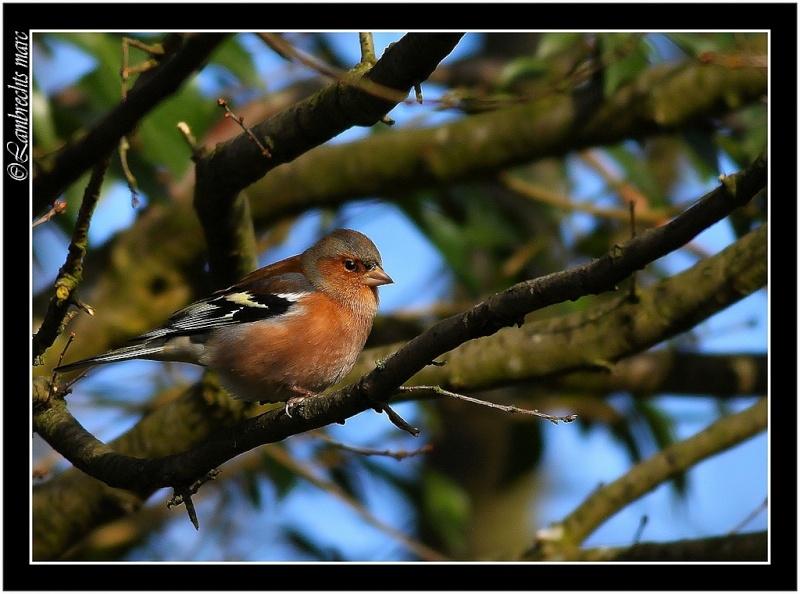 Oiseaux d'hiver 2010-2011 : Vadrouille Pinson10