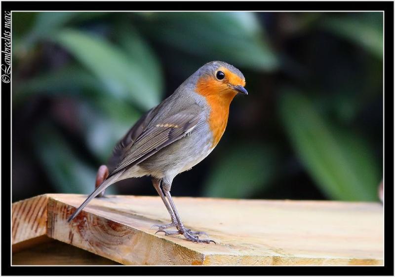 Oiseaux d'hiver 2010-2011 : Vadrouille Rouge_10