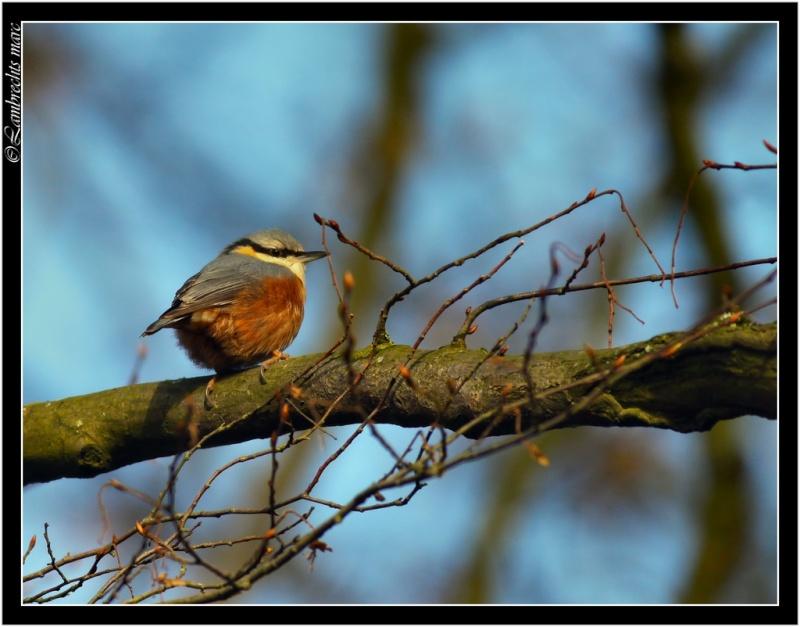 Oiseaux d'hiver 2010-2011 : Vadrouille Sitell10