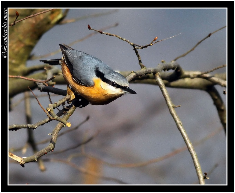 Oiseaux d'hiver 2010-2011 : Vadrouille Sitell11