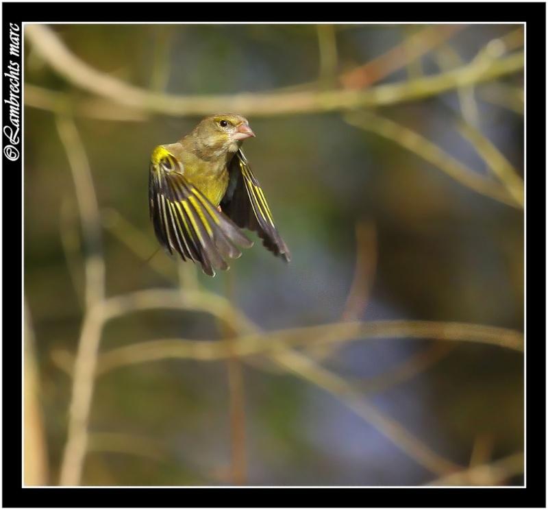 suite des oiseaux en vol Verdie13