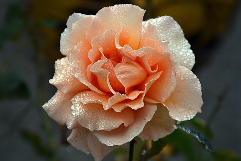 le royaume des rosiers...Vive la Rose ! - Page 14 Malaga10