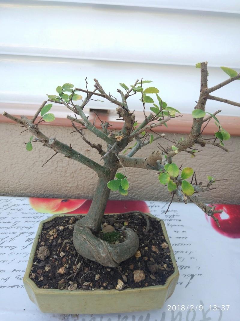 Mi primer bonsai (Olmo) Img_2016