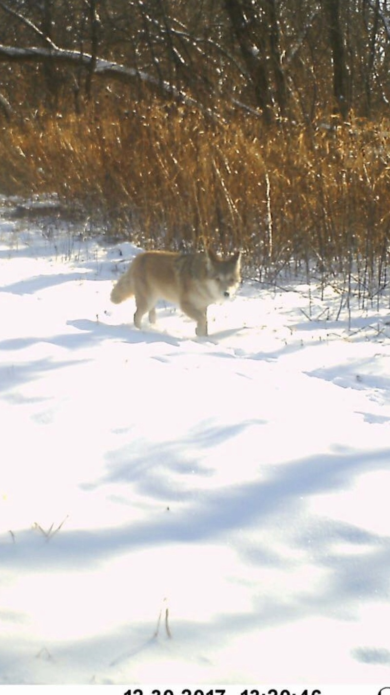 Any Coyote hunters on here?? Img_6710
