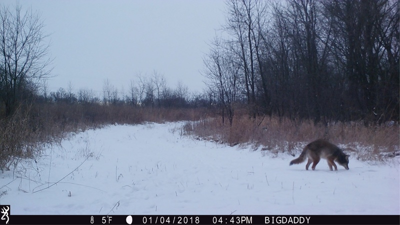 Any Coyote hunters on here?? Img_6711