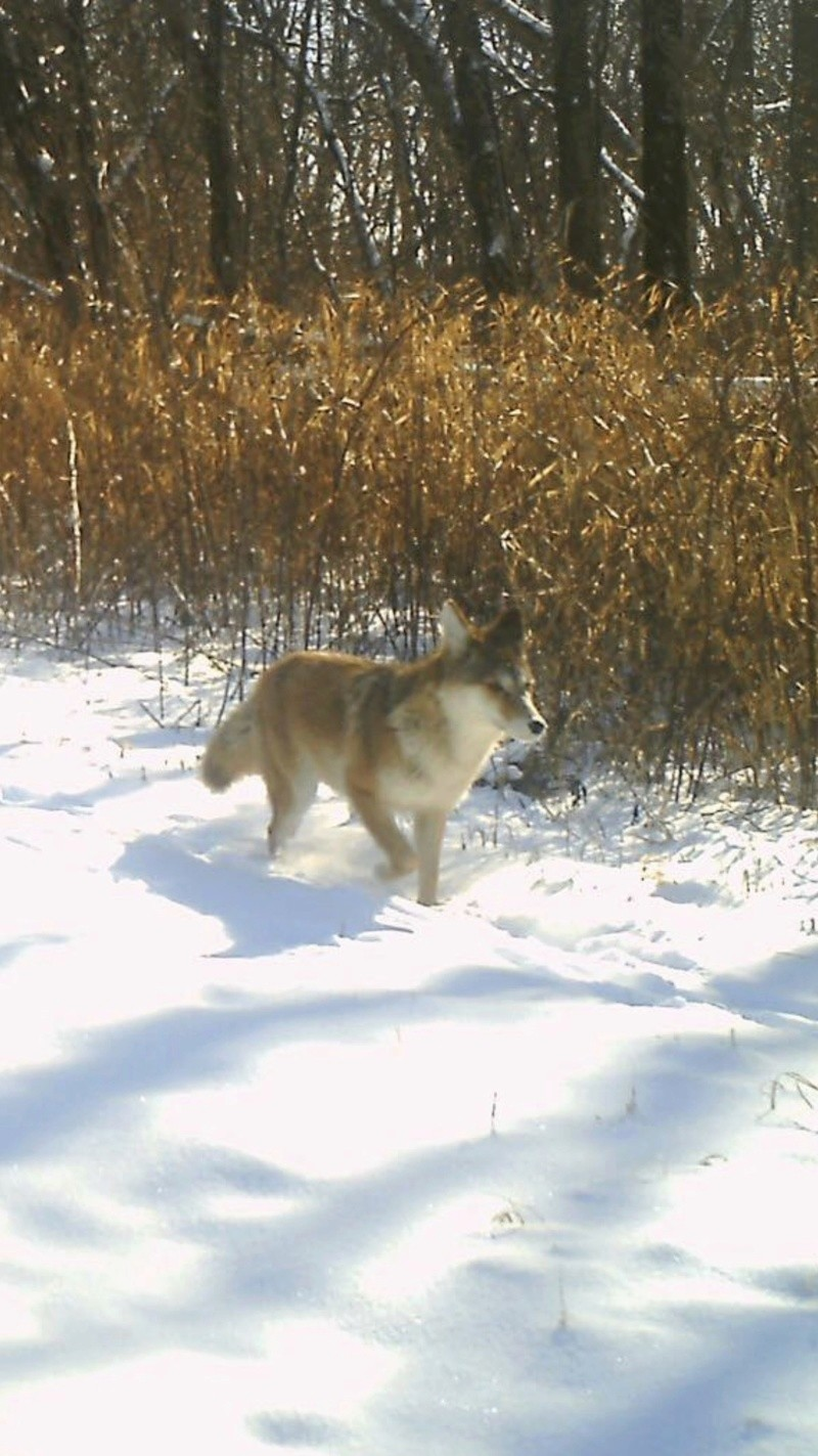 Any Coyote hunters on here?? Img_6714