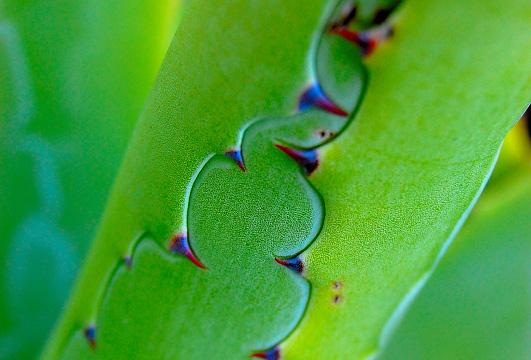 euphorbes ....... Aloes110