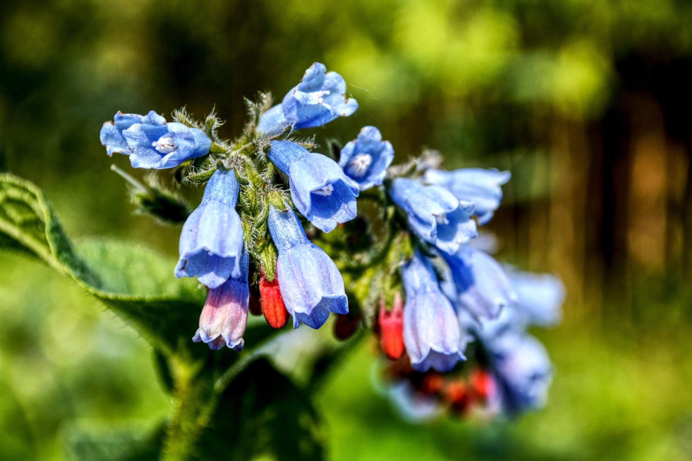 traitements naturels au jardin.......PURIN DE CONSOUDE Consou12