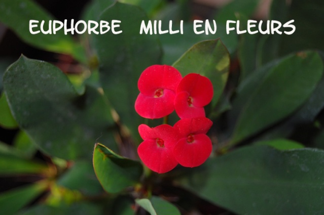 euphorbes ....... Euphor10