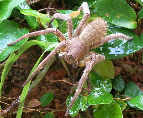 araignée, comment dire... spéciale [Phoneutria boliviensis] Large_10