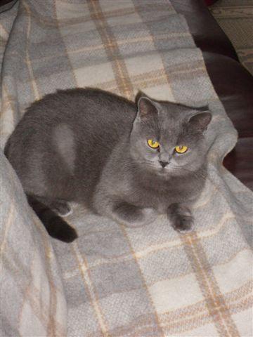 CHANEL, croisée british shorthair de 3 ans 2010-110